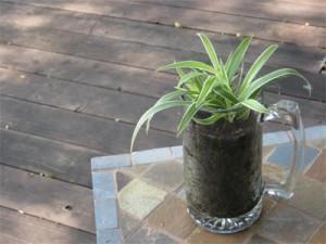 spider plant in beer mug