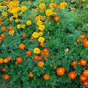 Marigold Flowers that Repel Mosquitoes